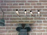 Abdij-vogels